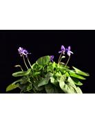 Duftveilchen 'Königin Charlotte' (Viola odorata)