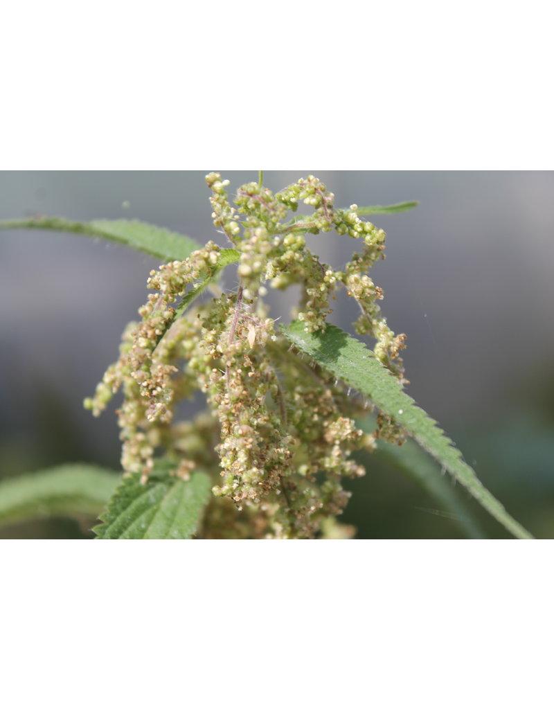 Brennessel (Urtica dioica)