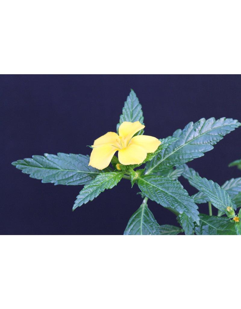 Damiana (Turnera ulmifolia)