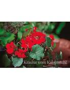 Kapuzinerkresse 'Red Wonder' (Tropaeolum maius)