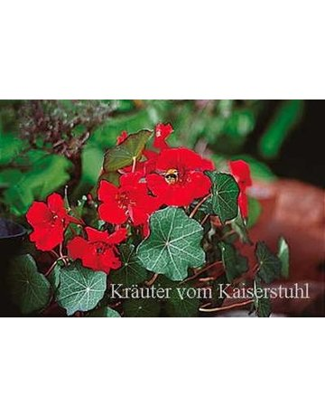Kapuzinerkresse 'Red Wonder'