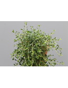Limonaden-Thymian - Thymus x citriodorus ´Cascata Lemonade´