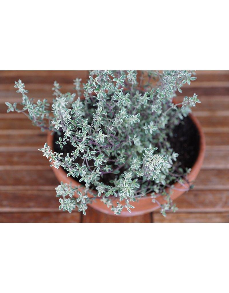 Weißbunter Thymian - Thymus vulgaris