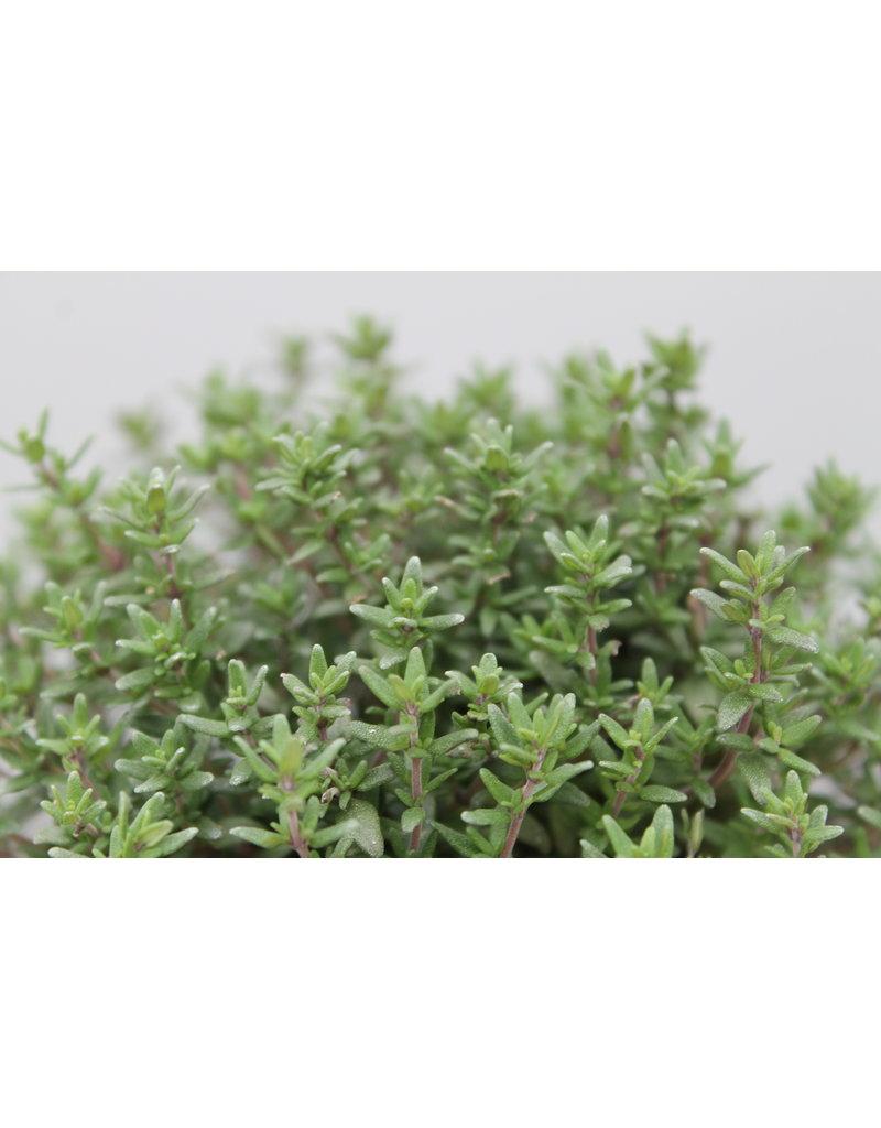 Kompakter Thymian ´Faustini´ - Thymus vulgaris