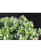 Aroma-Thymian 'Tabor' - Thymus vulgaris