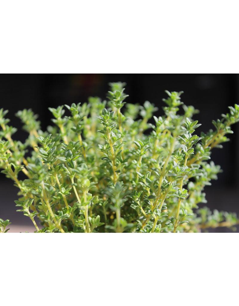 Thymian ´Pinewood´ - Thymus vulgaris