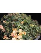 Thymian ´Foxley' - Thymus vulgaris