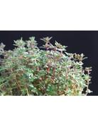Thymian 'Deutscher Winter' - Thymus vulgaris