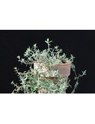 Rosen-Thymian - Thymus species