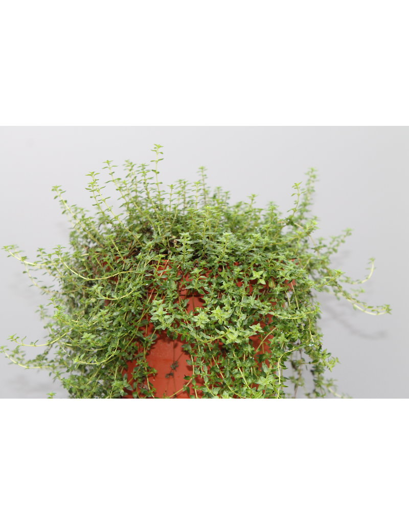 Kümmel-Thymian - Thymus species