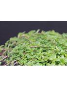 Kaskaden-Thymian - Thymus species