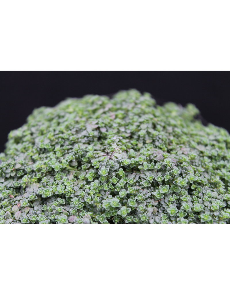 Polster-Thymian 'Elfin' - Thymus species