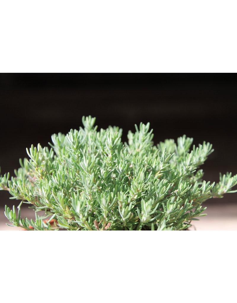Thymian 'Duftkissen' (Thymus sp.)