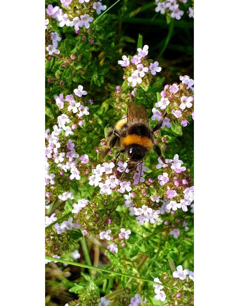 Polster-Thymian 'E.B. Anderson' (Thymus sp.)