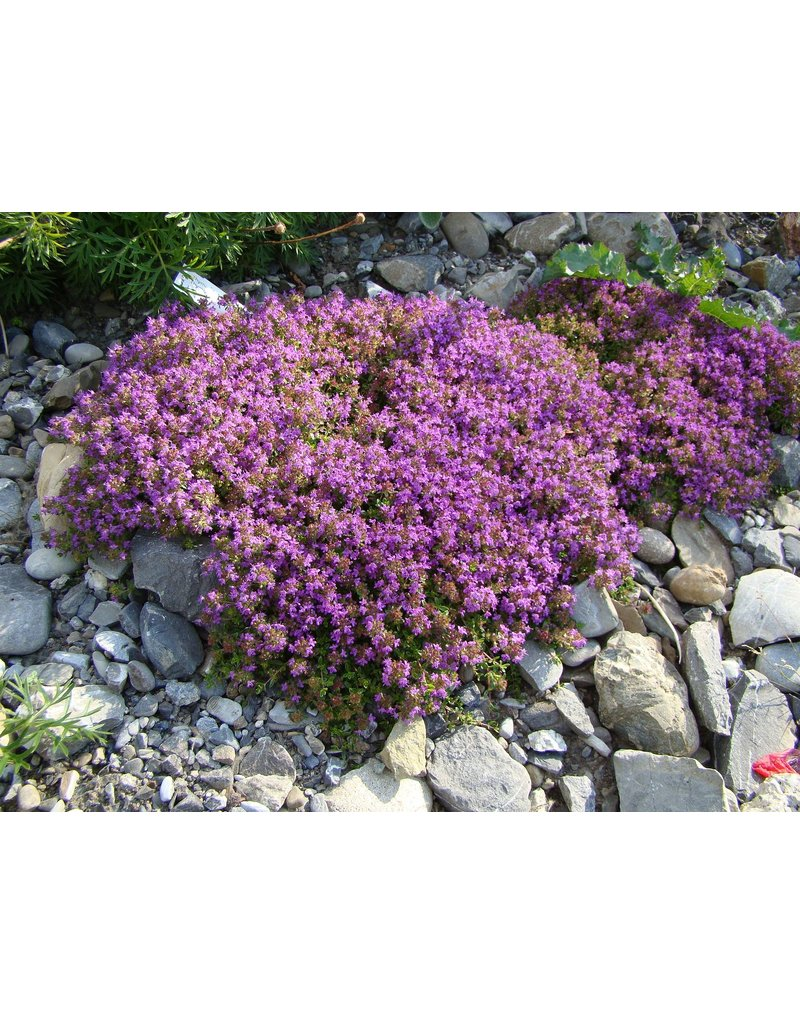 Feld-Thymian rotblühend - Thymus serpyllum coccineum