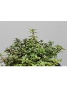 Feld-Thymian, Quendel (Thymus serpyllum)