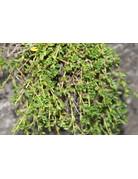 Zitronen-Thymian herba-barona (Thymus herba-barona var. citr.)