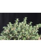 Orangen-Thymian (Thymus fragrantissimus)