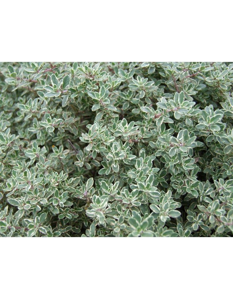 Weißbunter Zitronen-Thymian (Thymus citriodorus)
