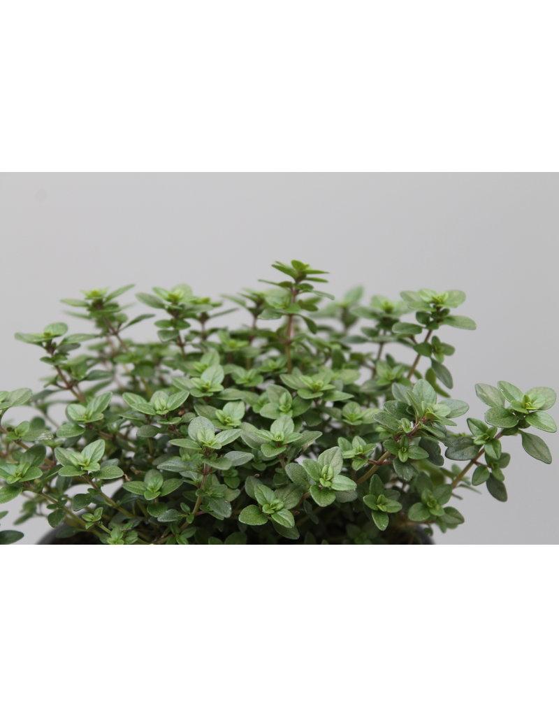 Grüner Zitronen-Thymian (Thymus citriodorus)