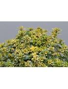 Gelbbunter Zitronen-Thymian (Thymus citriodorus)