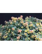 Zitronen-Thymian 'Doone Valley' (Thymus citriodorus)