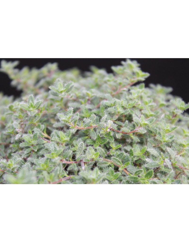 Perücken-Thymian (Thymus ciliatus var. Pubescens)