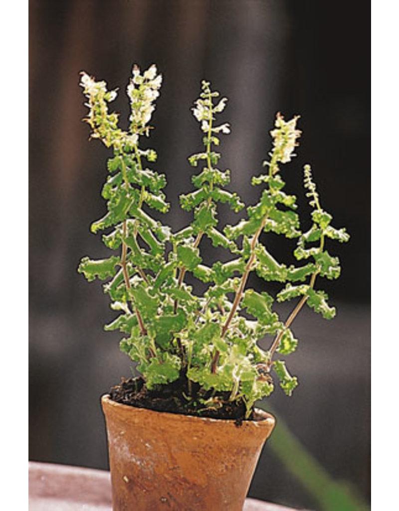 Salbei-Gamander (Teucrium scorodonia)