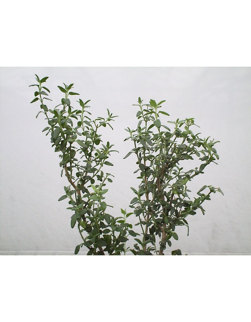 Katzen-Gamander - Teucrium marum