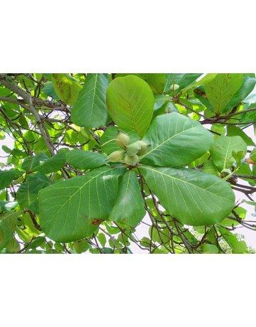 Indischer Mandelbaum