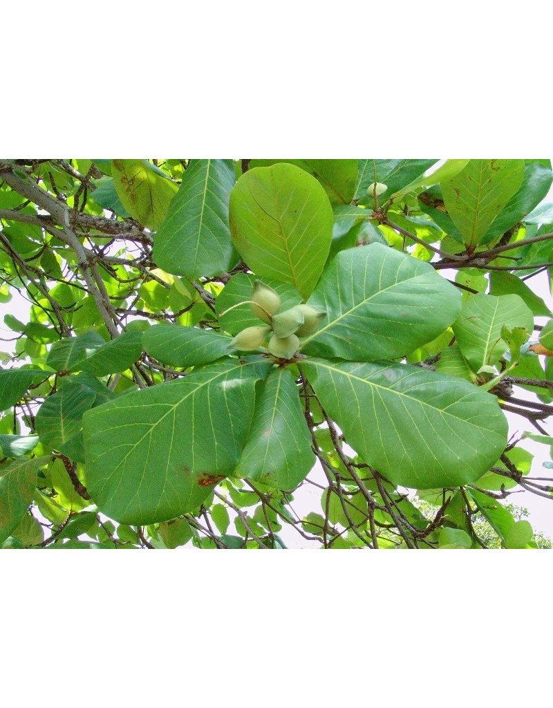 Indischer Mandelbaum (Terminalia catappa)