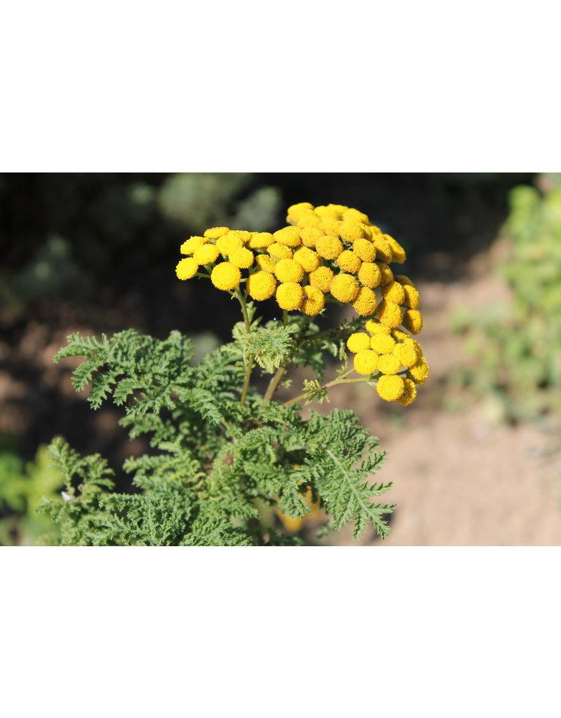 Krauser Rainfarn (Tanacetum vulgare 'Crispum')