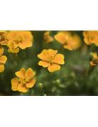 Gewürz-Tagetes (Tagetes tenuifolia)