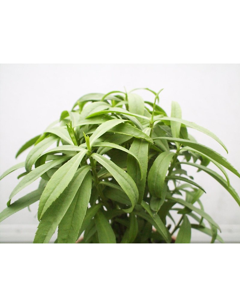 Winterestragon (Tagetes lucida)