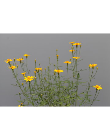 Strauch-Tagetes