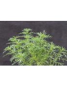 Lakritz-Tagetes (Tagetes filifolia)