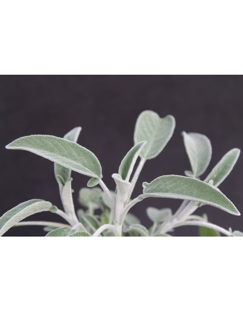 Griechischer Salbei (Salvia triloba)