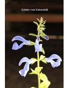 Großblütiger Enzian-Salbei (Salvia patens)