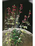 Johannisbeer-Salbei (Salvia ovrahamis)