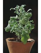 Flauschiger Salbei - Salvia officinalis