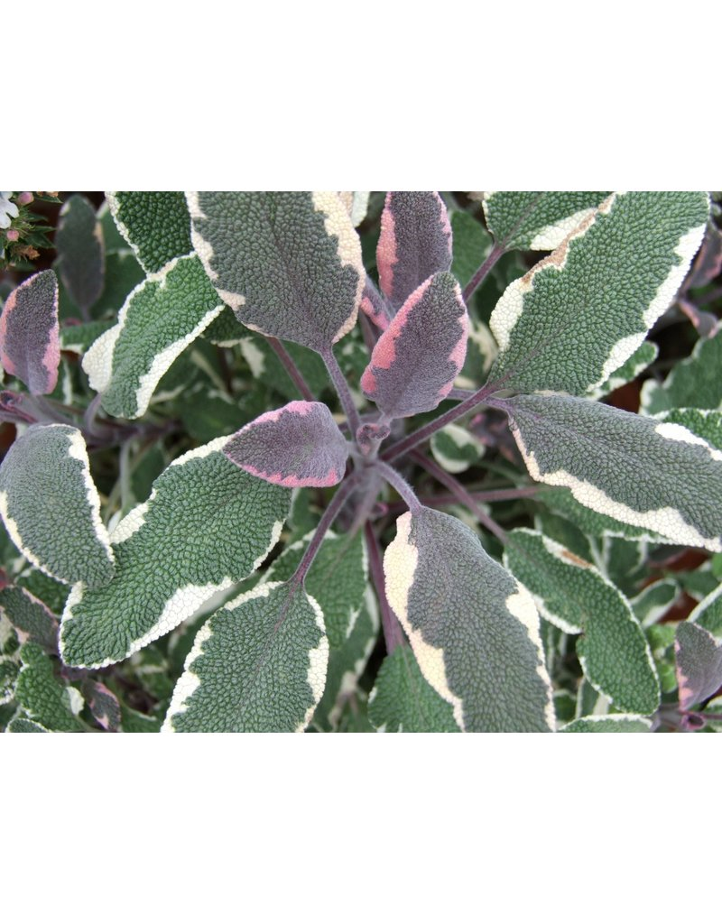 Bunter Salbei 'Tricolor' (Salvia officinalis ´Tricolor')