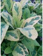 Weißbunter Salbei (Salvia officinalis 'Rotmühle')