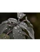 Purpur-Salbei (Salvia officinalis 'Purpurascens')