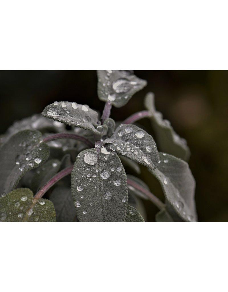 Purpur-Salbei 'Purpurascens' - Salvia officinalis