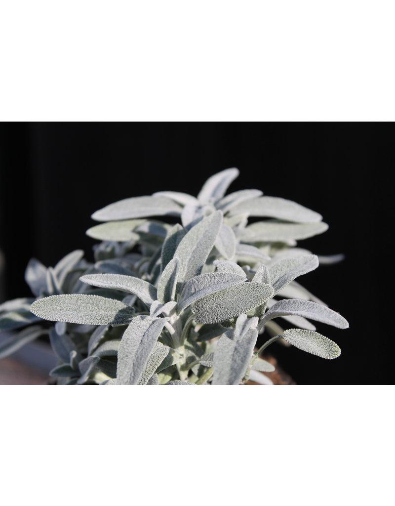 Marzipan-Salbei - Salvia officinalis 'Nazareth'