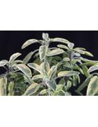 Gold-Salbei (Salvia officinalis 'Icterina')