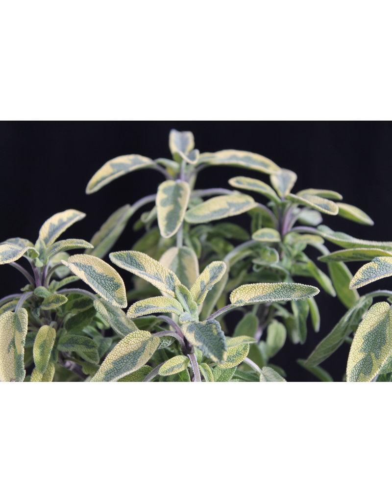 Gold-Salbei 'Icterina' - Salvia officinalis