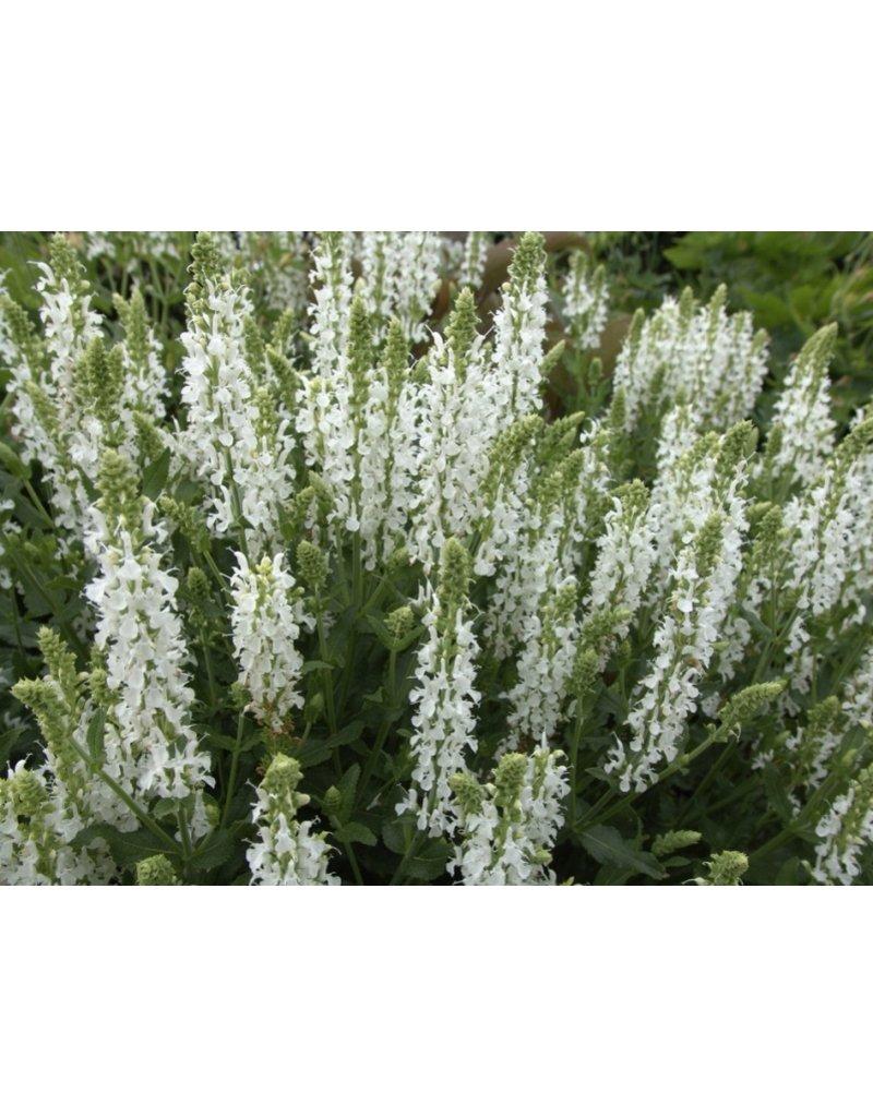 Weißer Steppen-Salbei (Salvia nemorosa 'Adrian')
