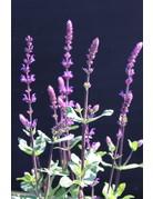 Steppen-Salbei 'Caradonna' (Salvia nemorosa 'Caradonna')