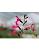 Frühlings-Salbei (Salvia menthaefolia)
